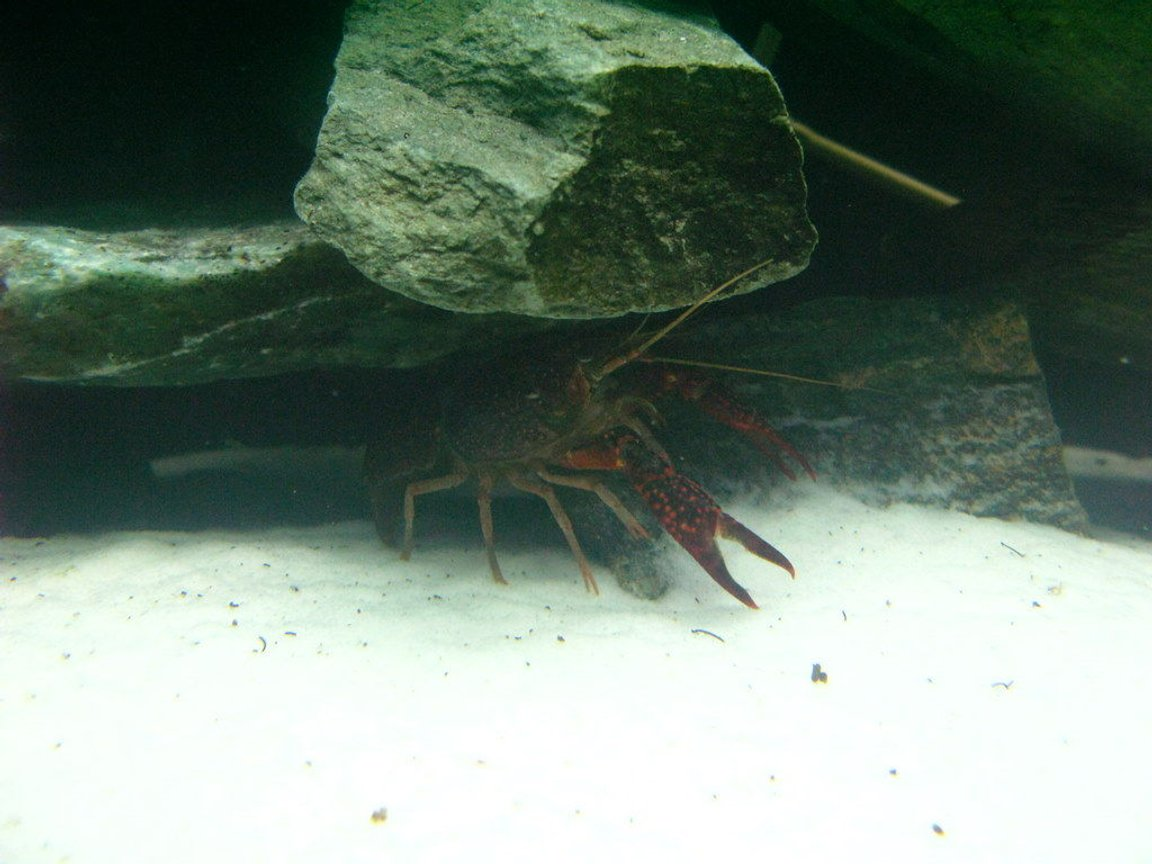 corals inverts - enoplometopus sp. - reef lobster, red hawaiian stocking in 75 gallons tank - Red Crayfish