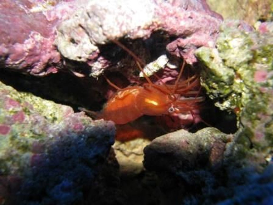 corals inverts - lysmata wurdemanni - peppermint shrimp stocking in 55 gallons tank - Shrimp with eggs
