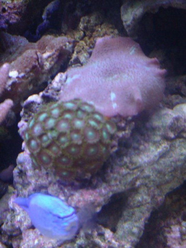 corals inverts - zoanthus sp. - colony polyp stocking in 46 gallons tank - mushroom and zoa with blue damsel cameo