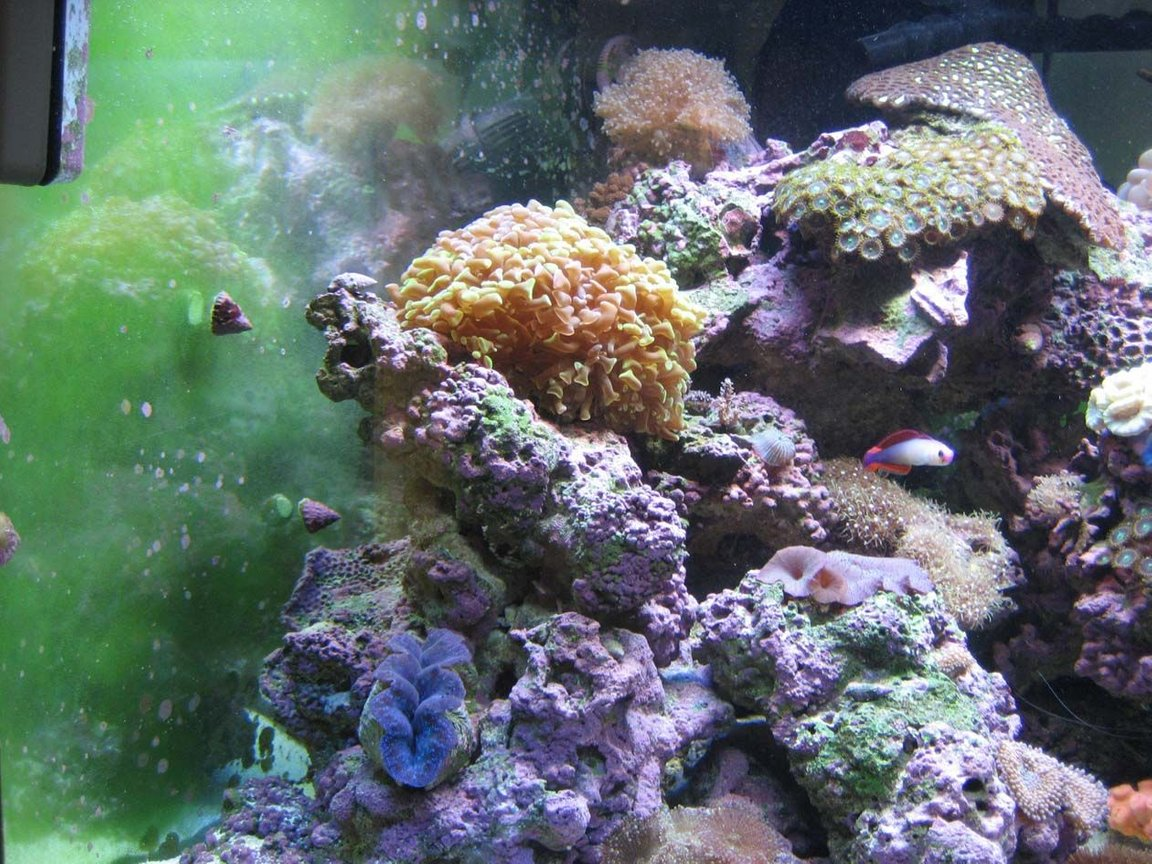 corals inverts - euphyllia paranchora - hammer / anchor coral, branching stocking in 92 gallons tank - Hammer coral and derasa clam, frog spawn