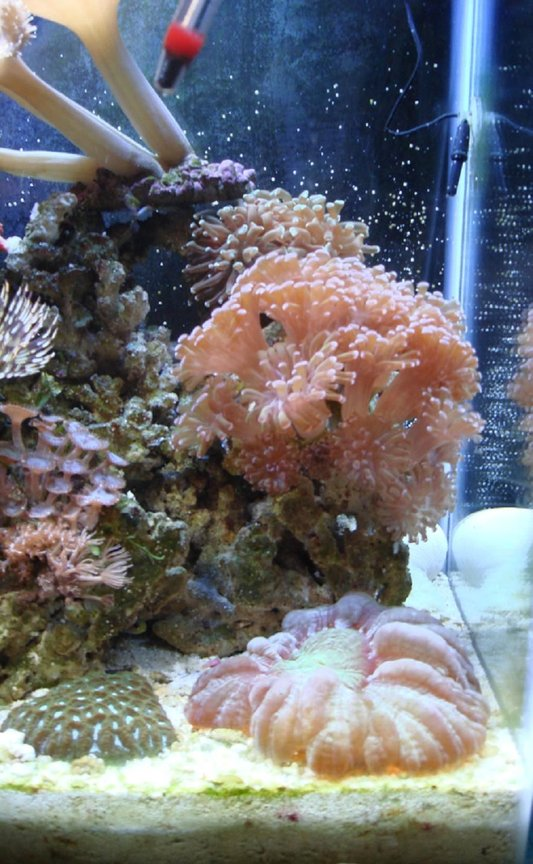 corals inverts - euphyllia paranchora - hammer / anchor coral, branching stocking in 30 gallons tank - hammer