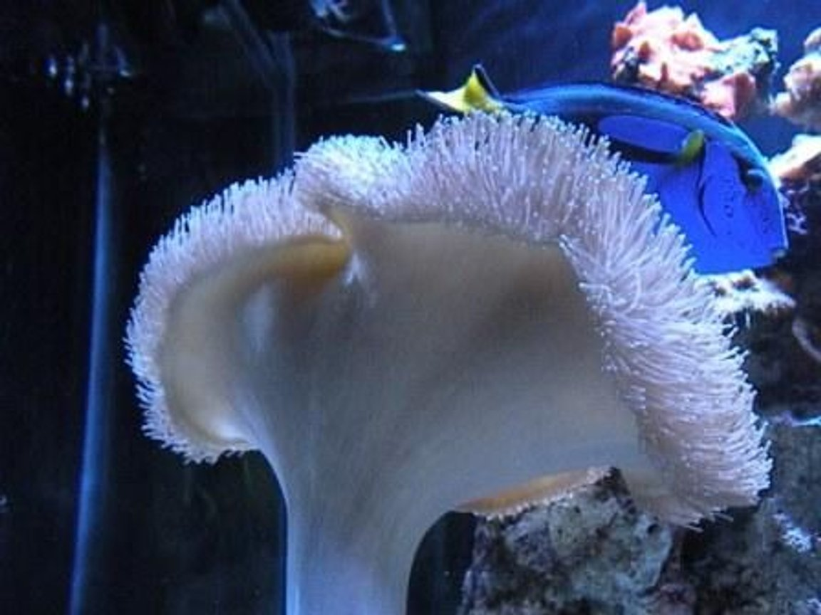 "corals inverts - sarcophyton sp. - long polyp leather stocking in 150 gallons tank - My girls call it ""Dory"""