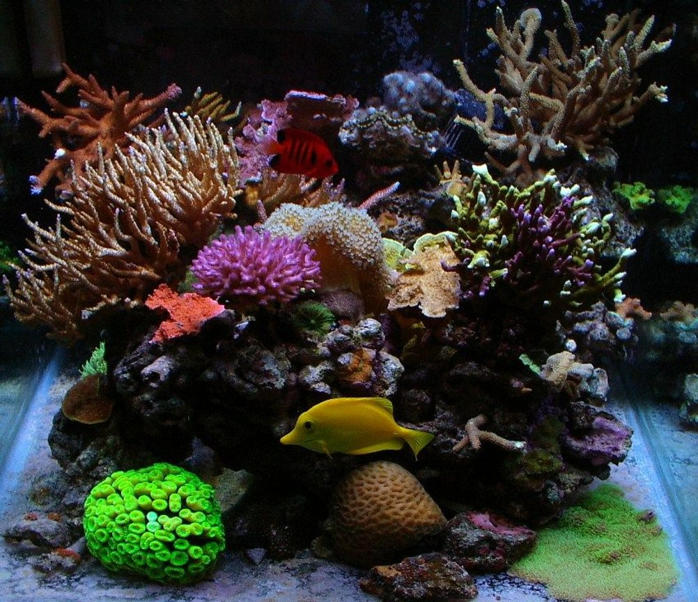 corals inverts - macrodactyla doreensis - long tentacle anemone, purple stocking in 55 gallons tank - 55 gallon cube, mixed reef