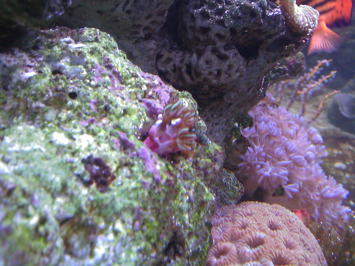 corals inverts - briareum sp. - starburst polyp stocking in 55 gallons tank - purple & green polyps coral