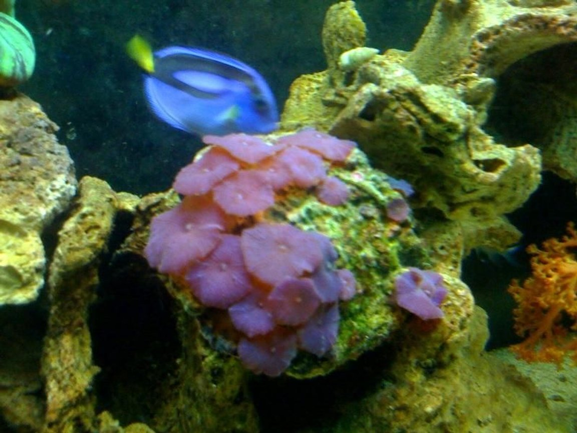 corals inverts - actinodiscus sp. - red mushroom stocking in 55 gallons tank - 1