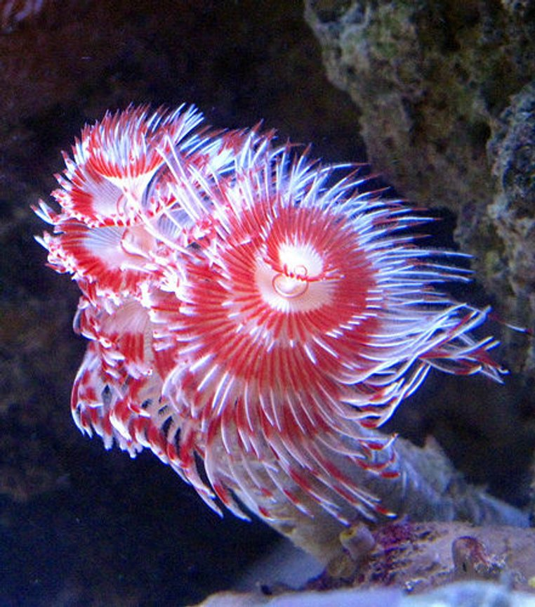 corals inverts - protula bispiralis - hard tube coco worm stocking in 44 gallons tank - Coco Worm