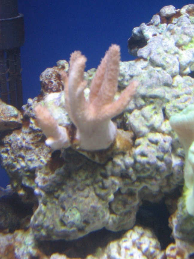 corals inverts - sinularia sp. - finger leather coral stocking in 14 gallons tank - pink finger leather coral