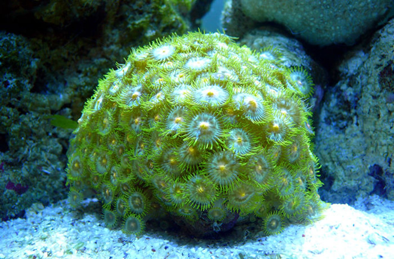 corals inverts - zoanthus sp. - colony polyp stocking in 30 gallons tank - Green Button Polyps (Zoanthus sp.)