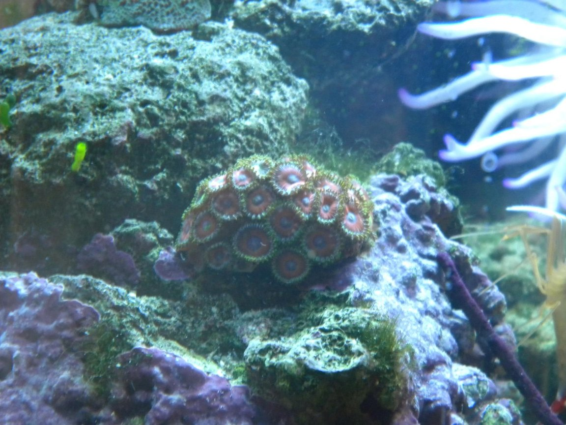 corals inverts - zoanthus sp. - button polyp, pink stocking in 3 gallons tank - zoanthids