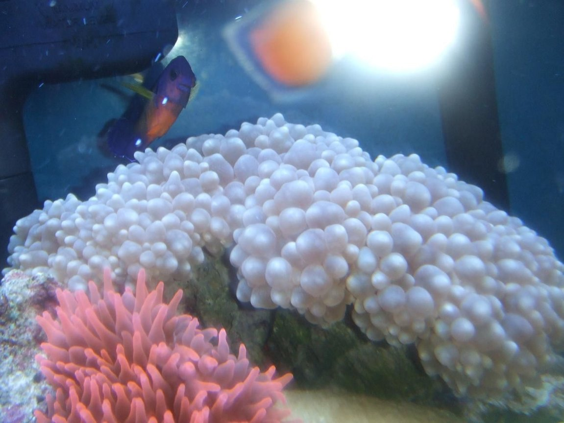 corals inverts - entacmaea quadricolor - rose bulb anemone stocking in 40 gallons tank - BUBBLE CORAL