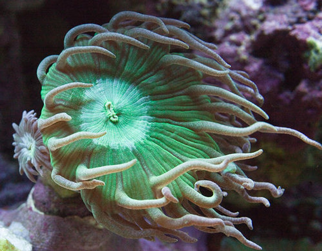 corals inverts - duncanopsammia axifuga - giant green polyp duncan stocking in 37 gallons tank - Duncan
