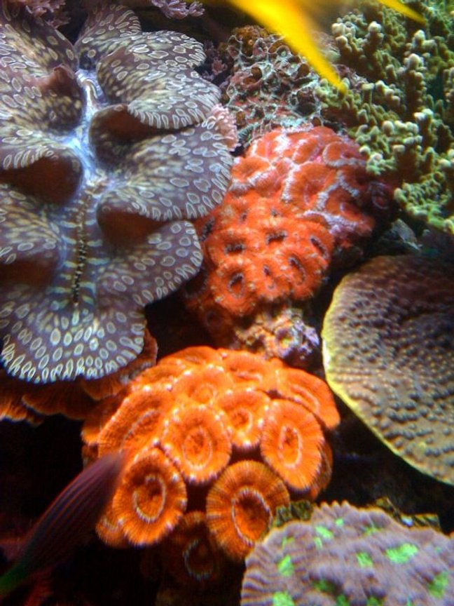 corals inverts - acanthastrea lordhowensis - aussie acans stocking in 75 gallons tank - Acan colonies!