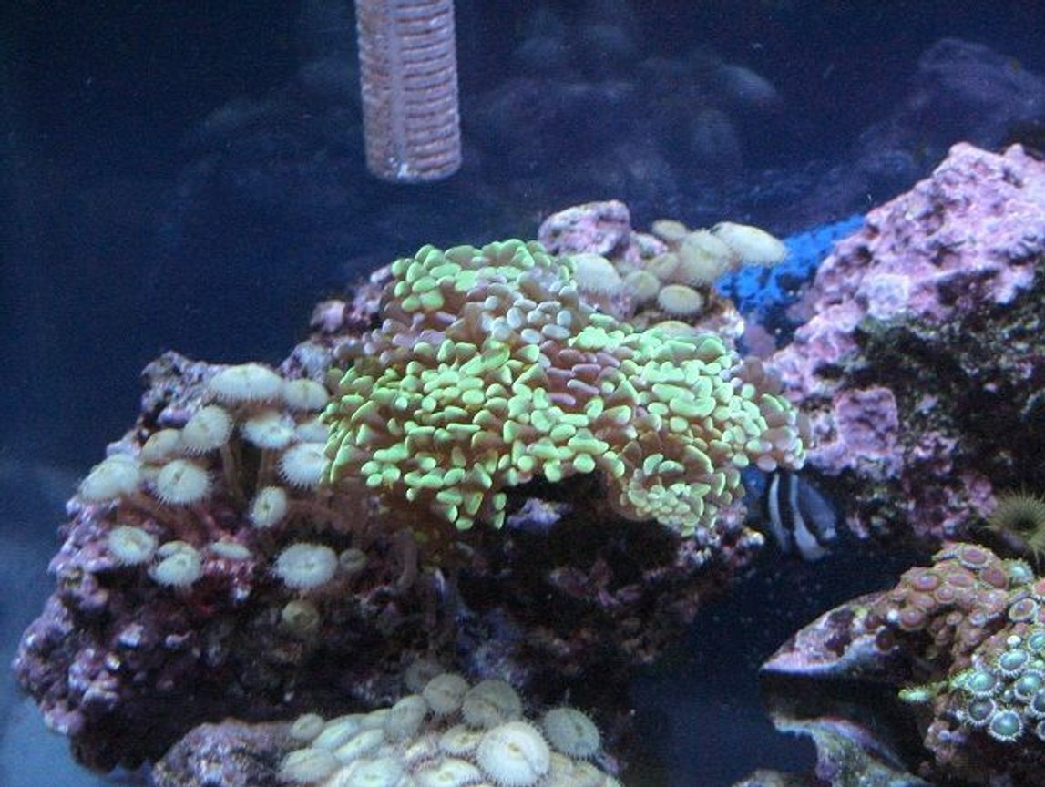 corals inverts - euphyllia paranchora - hammer / anchor coral, branching stocking in 55 gallons tank - ...