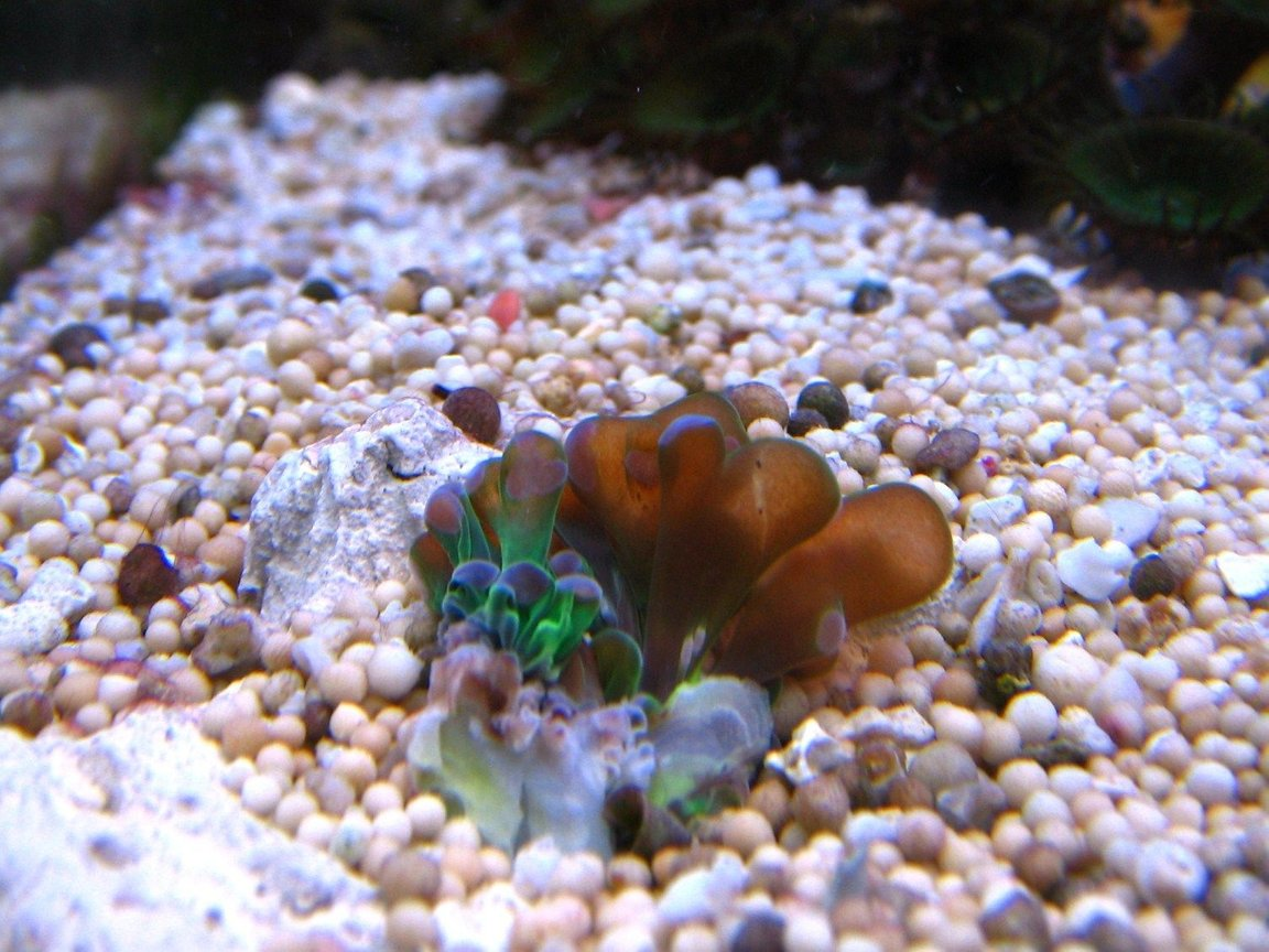 corals inverts - euphyllia glabrescens - torch coral stocking in 10 gallons tank - Euphyllia grablescens