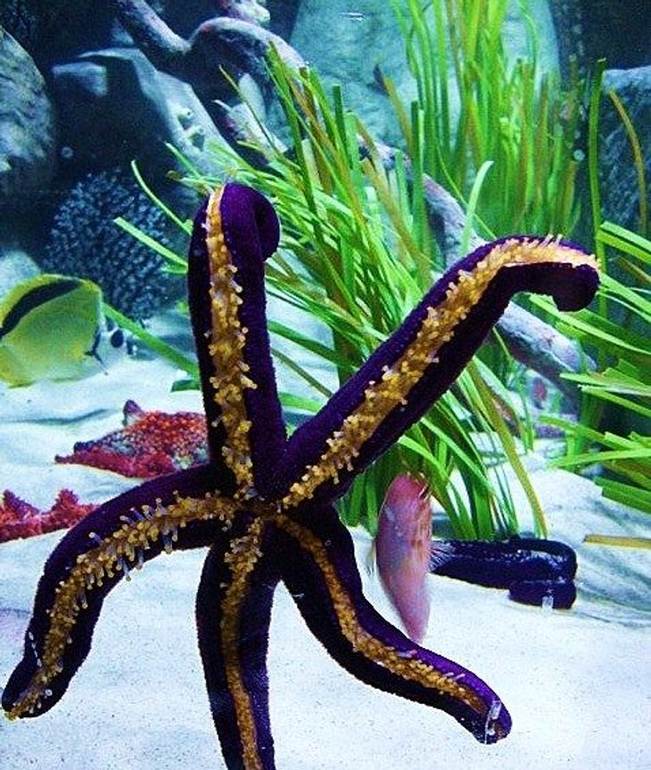 corals inverts stocking in 40 gallons tank - starfish and hawk fish