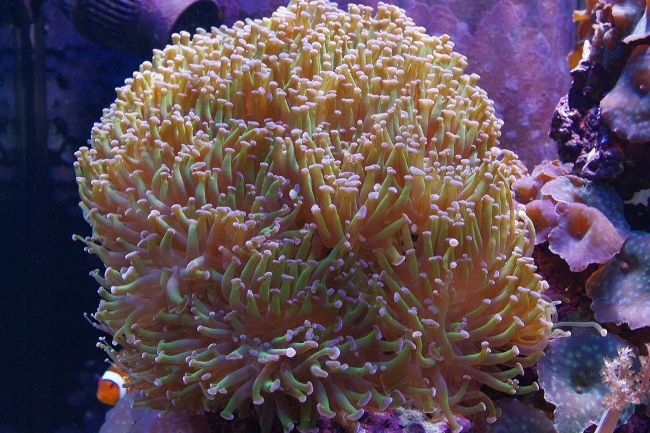 corals inverts - euphyllia paranchora - hammer / anchor coral, branching stocking in 140 gallons tank - Branching Torch Coral