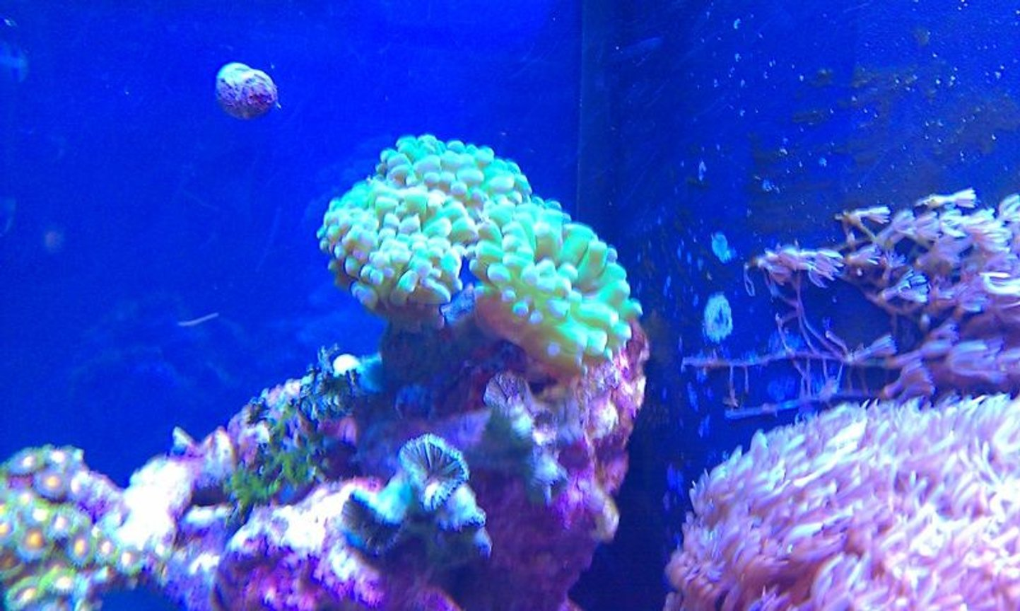 corals inverts - euphyllia paradivisa - frogspawn coral stocking in 72 gallons tank - Frog spawn?