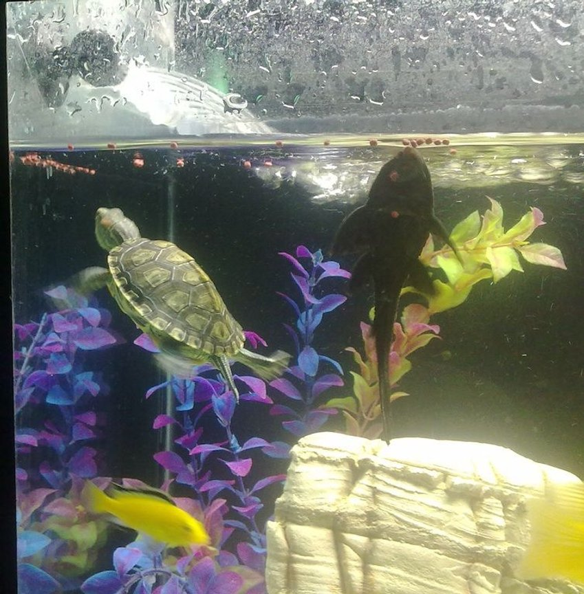 corals inverts - trachemys scripta scripta - yellow belly slider turtle stocking in 35 gallons tank - red eared slider