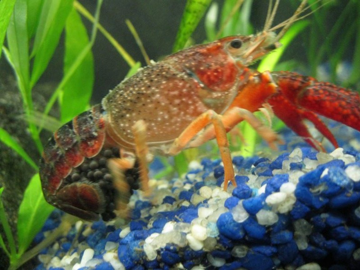 corals inverts - procambarus sp. - marble crayfish stocking in 40 gallons tank - i woke up this morning and saw my lobster with black stuff when i turned on the light i took the pic... i was happy to learn she is a girl... :)