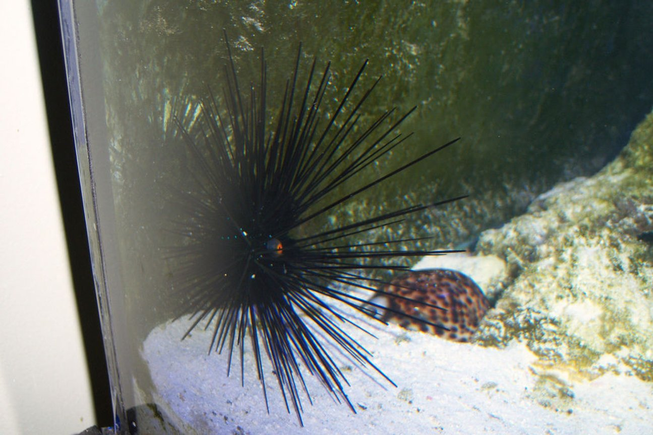 corals inverts - diadema setosum - longspine urchin, black stocking in 180 gallons tank - Long Spine Urchin