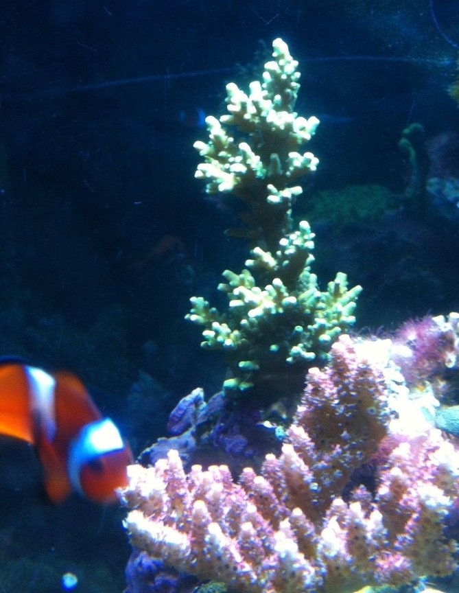 corals inverts - acropora sp. - branching acropora coral stocking in 90 gallons tank - 2 acros and a clownfish