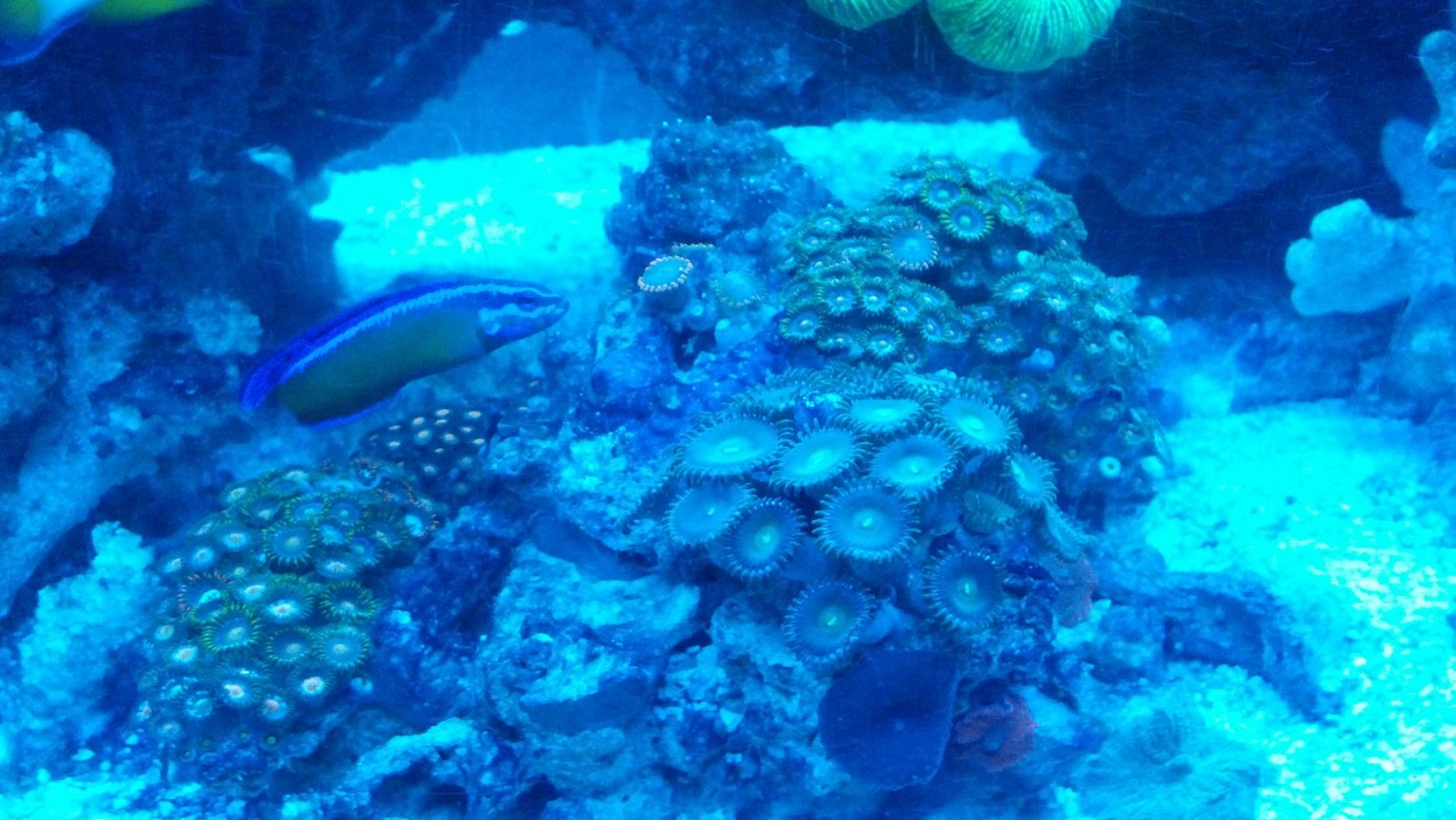 corals inverts - zoanthus sp. - colony polyp, orange/green stocking in 72 gallons tank - Dottyback looking at her Garden