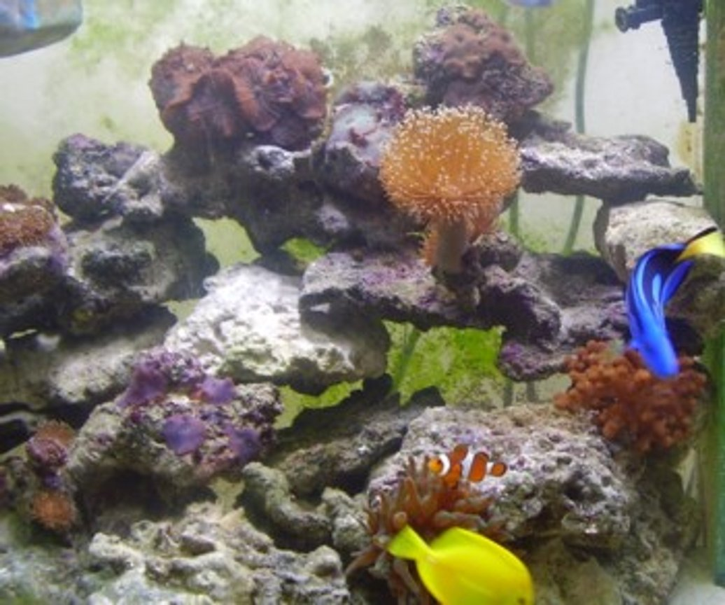 corals inverts - sabellastarte sp. - feather duster stocking in 90 gallons tank - Apart of my pretty 90 gallon reef