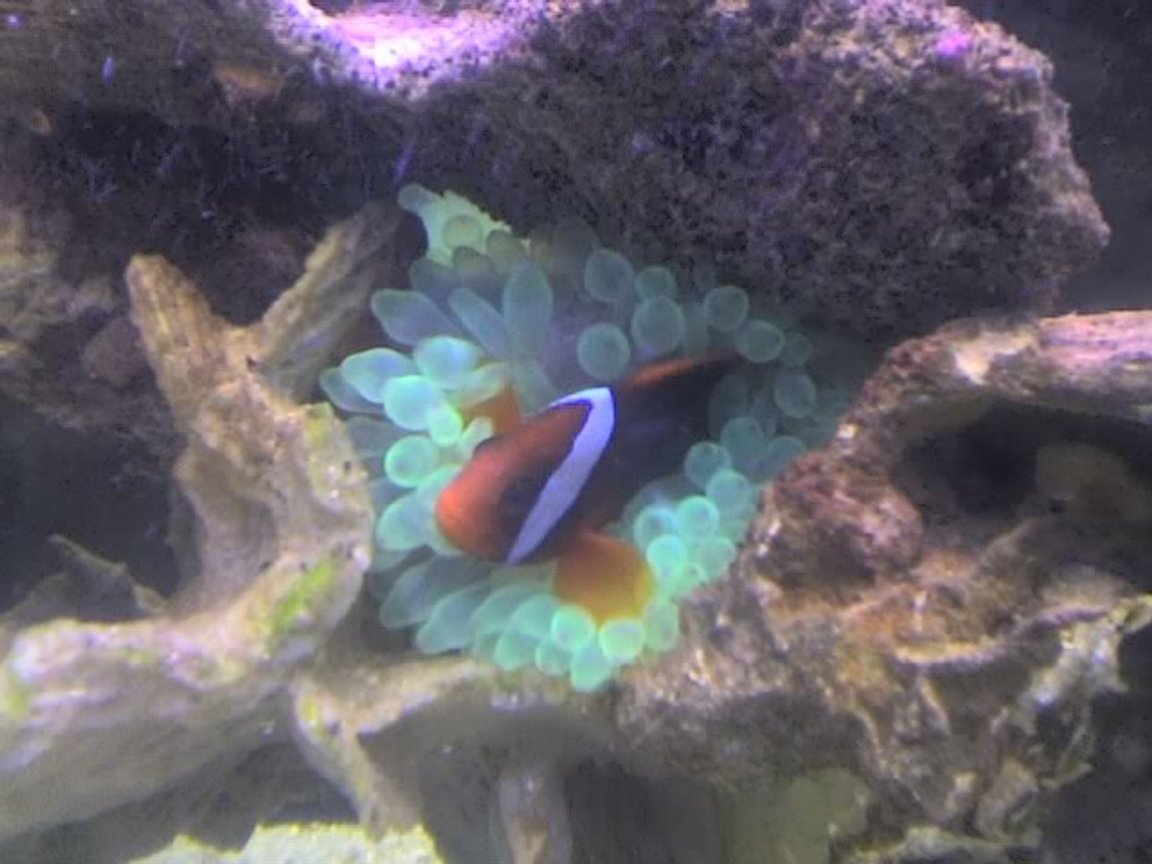 corals inverts - entacmaea quadricolor - bulb anemone stocking in 90 gallons tank - clownfish with anemone