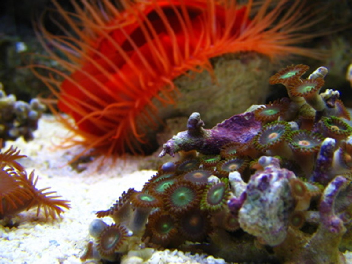 corals inverts - zoanthus sp. - colony polyp stocking in 46 gallons tank - Polyps closeup