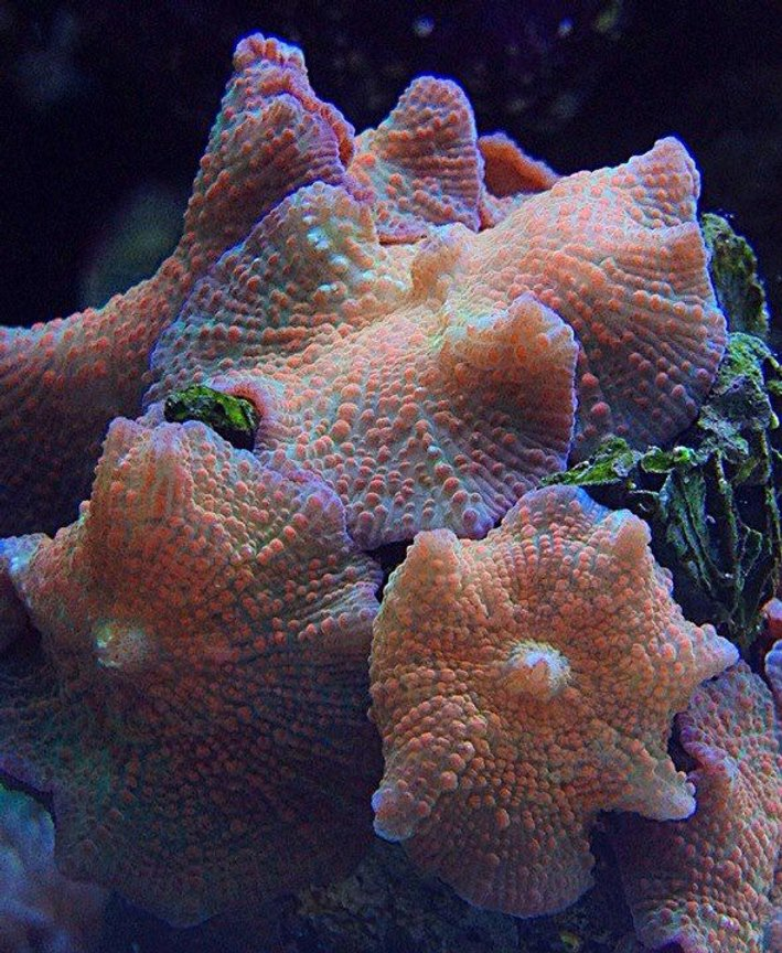 corals inverts - actinodiscus sp. - fluorescent mushroom stocking in 45 gallons tank - florescent mushrooms
