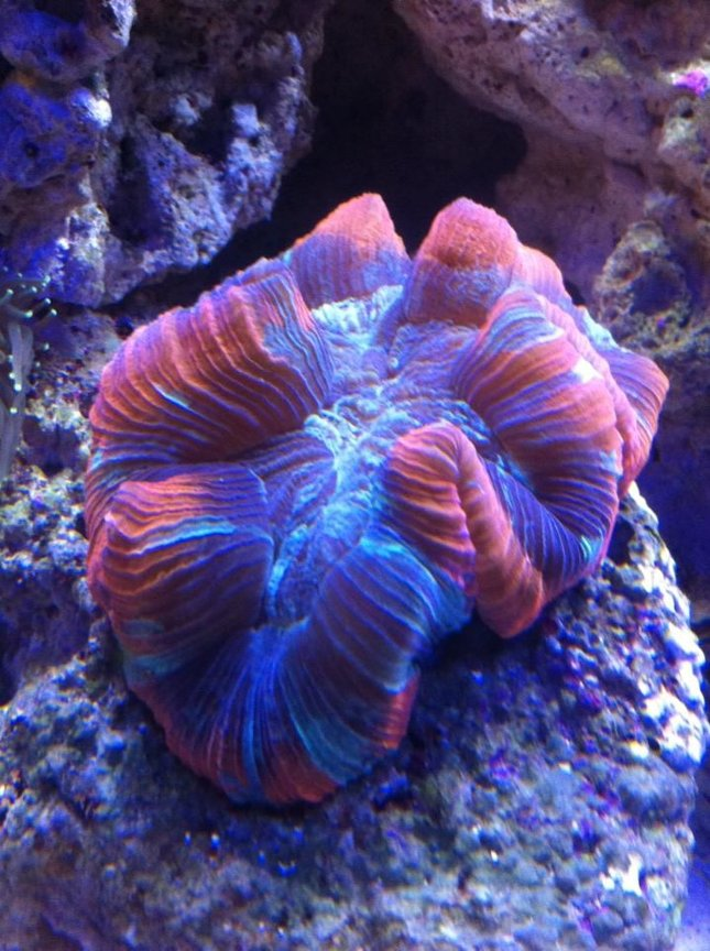 corals inverts - trachyphyllia geoffroyi - brain coral stocking in 180 gallons tank - one of my favorites!!