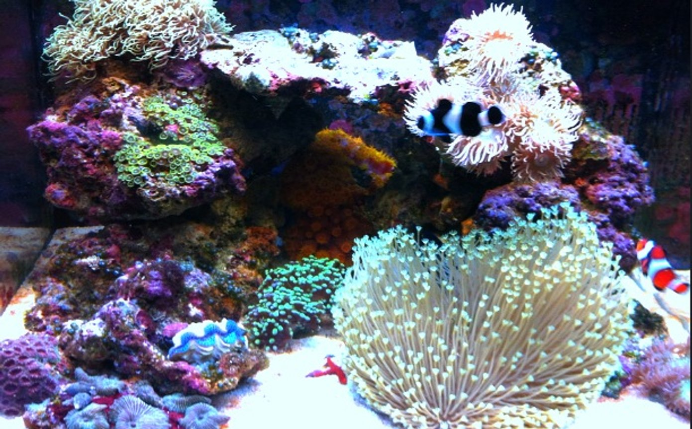 corals inverts - asterospicularia sp. - asterospicularia coral stocking in 29 gallons tank - 29 gallon biocube full tank shot