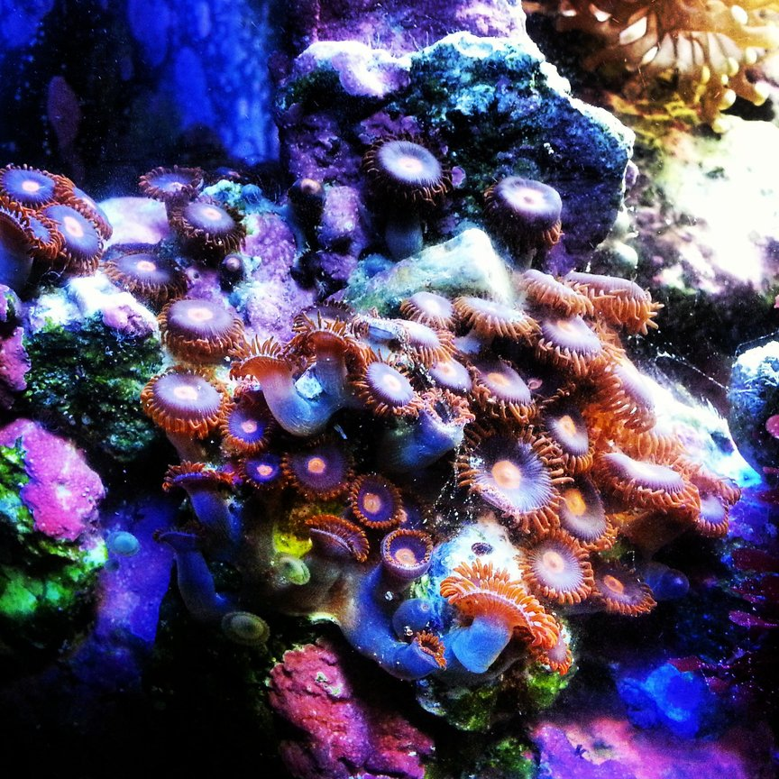 corals inverts - zoanthus sp. - colony polyp, sunrise supernova stocking in 30 gallons tank - Zoas