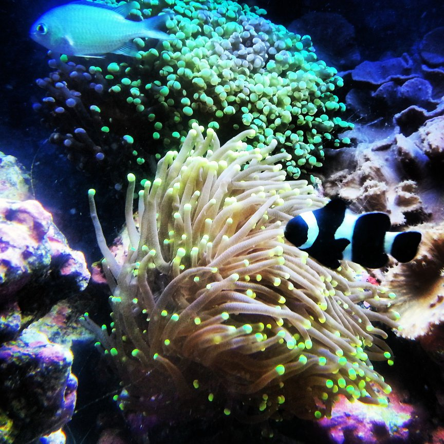 corals inverts - euphyllia paradivisa - frogspawn coral, thin branched stocking in 30 gallons tank - Frog spawn and torch coral with clown fish
