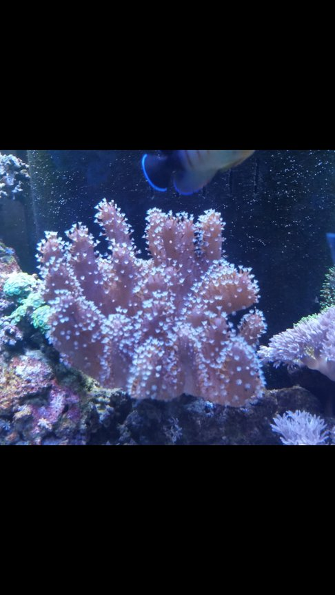 corals inverts stocking in 90 gallons tank - Finger leather