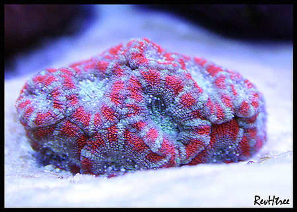 corals inverts - acanthastrea lordhowensis - acan lord stocking in 125 gallons tank - Acan Lord