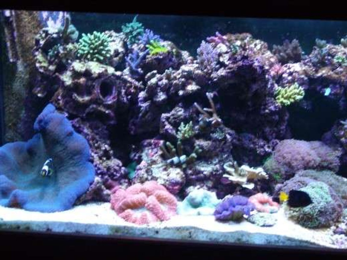 corals inverts - actinodiscus sp. - blue mushroom stocking in 180 gallons tank - left side