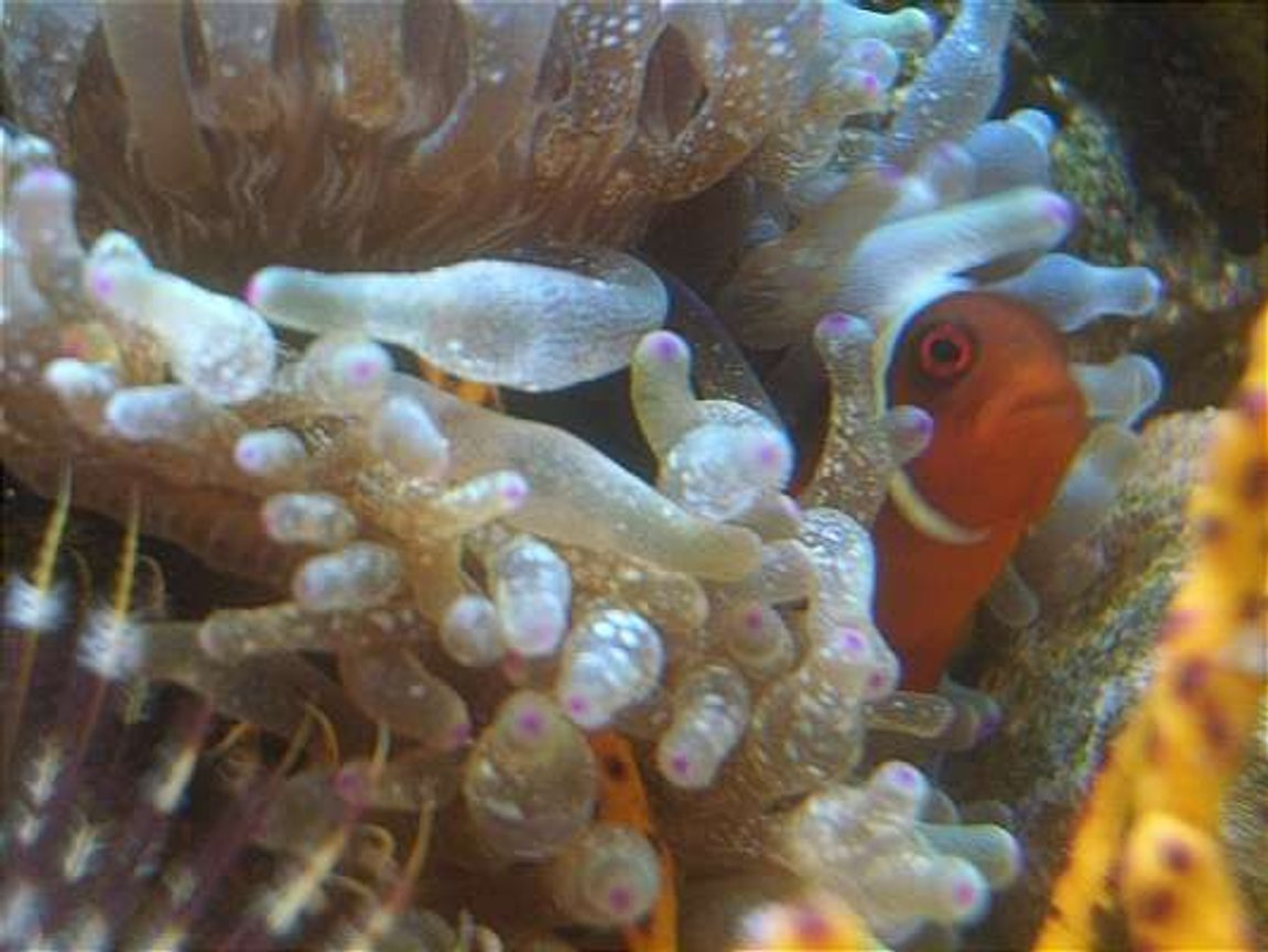 corals inverts - entacmaea quadricolor - bulb anemone stocking in 12 gallons tank - gold stripe maroon clown 2