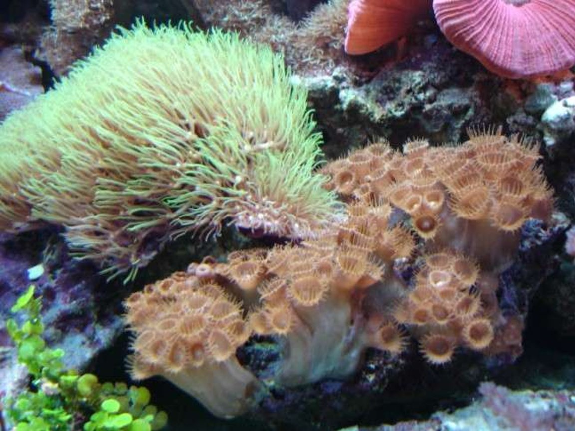 corals inverts - briareum sp. - starburst polyp stocking in 112 gallons tank - green stars /carribean zoos