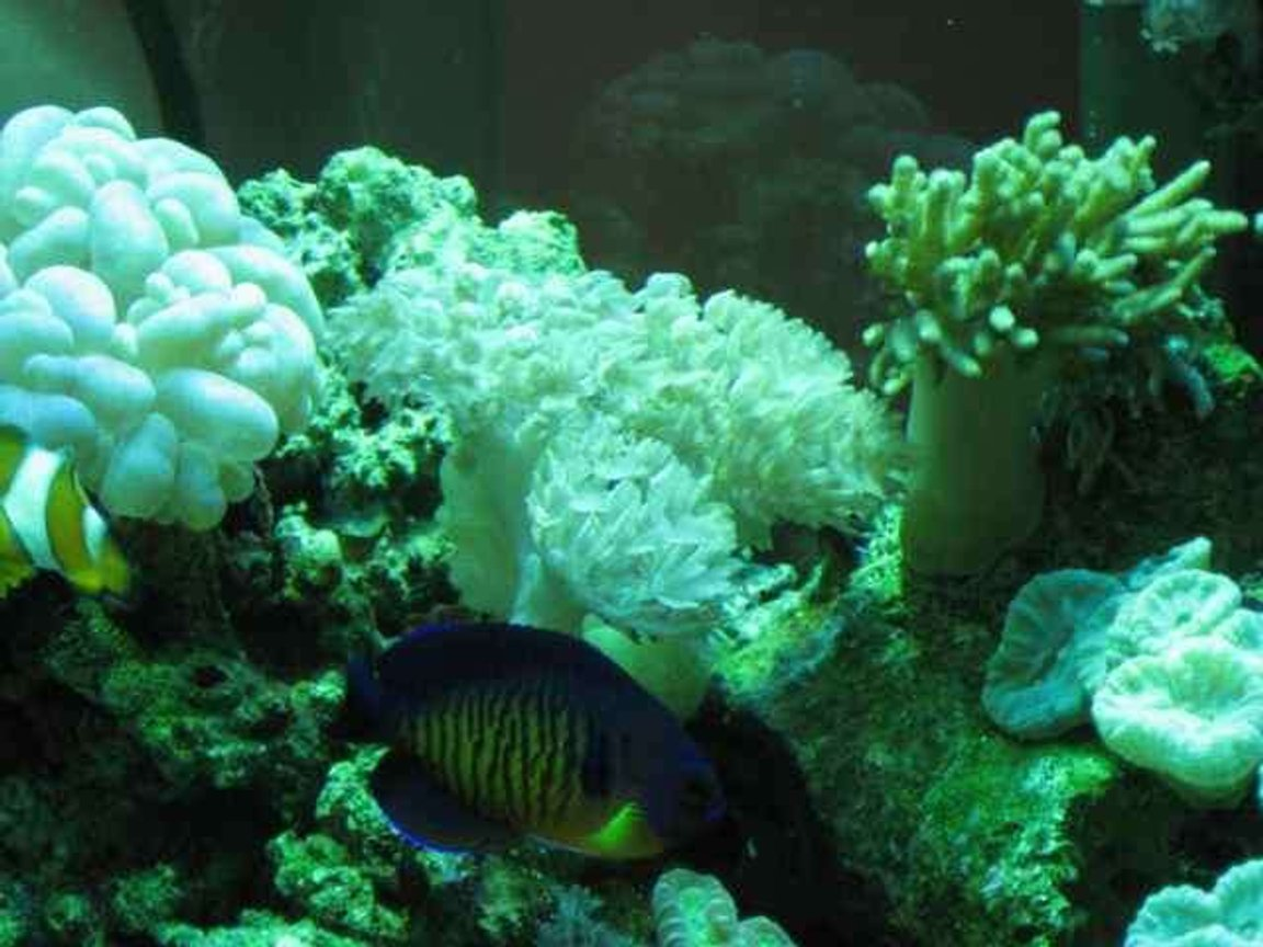 corals inverts - plerogyra sinuosa - bubble coral, white stocking in 29 gallons tank - corals