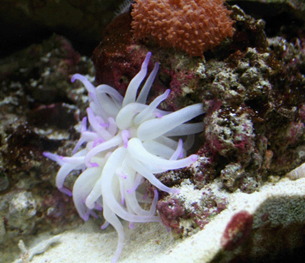 corals inverts - condylactis gigantea - condy anemone stocking in 55 gallons tank - Coral