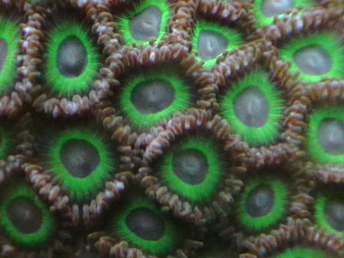 corals inverts - zoanthus sp. - hulk zoanthids stocking in 25 gallons tank - Green zoos