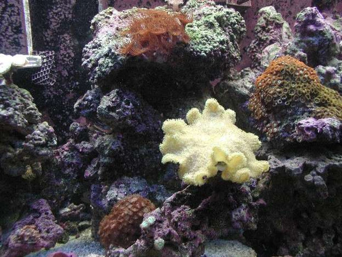 corals inverts - sarcophyton elegans - yellow fiji leather coral stocking in 180 gallons tank - Another middle shot of tank.