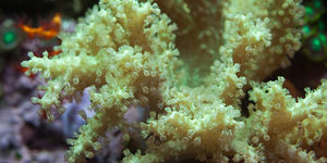 Green Sinularis leather coral