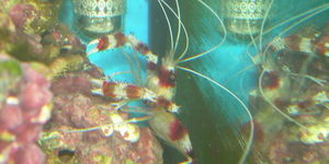 My Coral Banded Shrimp