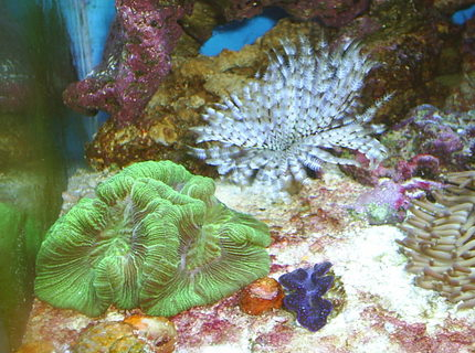 corals inverts - trachyphyllia radiata - brain coral, wellsophyllia stocking in 30 gallons tank - Brain Coral