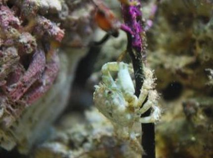 corals inverts - mithrax sculptus - emerald crab stocking in 60 gallons tank - The littlest emerald crab crawling up the fan coral