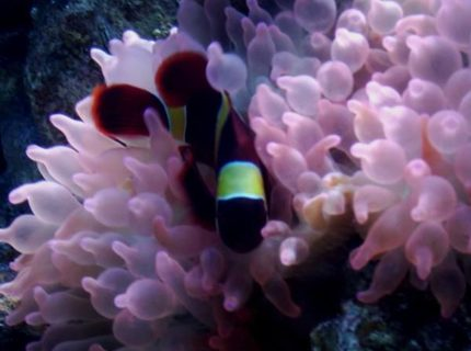 corals inverts - entacmaea quadricolor - rose bulb anemone stocking in 75 gallons tank - Yellow Stripe Maroon Clown and Rose BTA