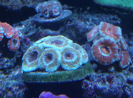 corals inverts - acanthastrea lordhowensis - aussie acan lord stocking in 220 gallons tank - Acans