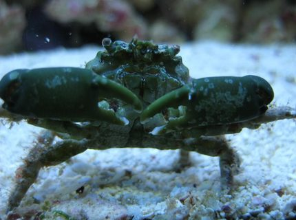corals inverts - mithrax sculptus - emerald crab stocking in 125 gallons tank - Emerald crab close-up in my 125 reef